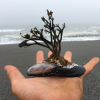 Bonsai oceanico